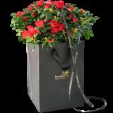 Rød Azalea i gavepose
